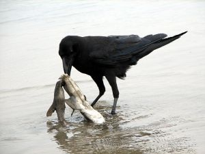 800px-Raven_scavenging_on_a_dead_shark