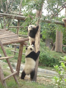 I visited the Panda Reserve in Chengdu, China. These little guys were all over each other. Very cute.