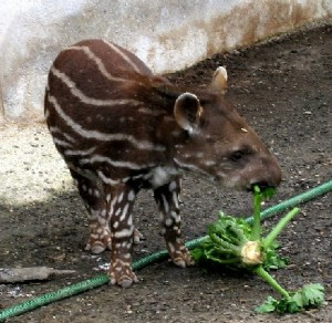 Tapirbaby